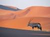 oryx-antelope